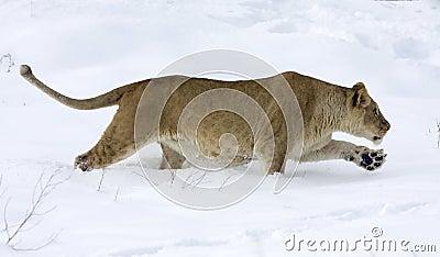 Lioness / Panthera leo