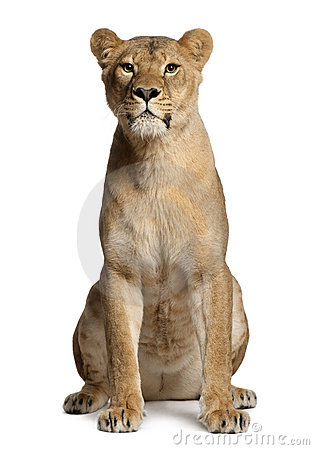 Free Lioness, Panthera Leo, 3 Years Old, Sitting Royalty Free Stock Image - 22629266