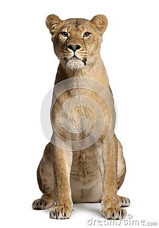 Lioness, Panthera leo, 3 years old, sitting