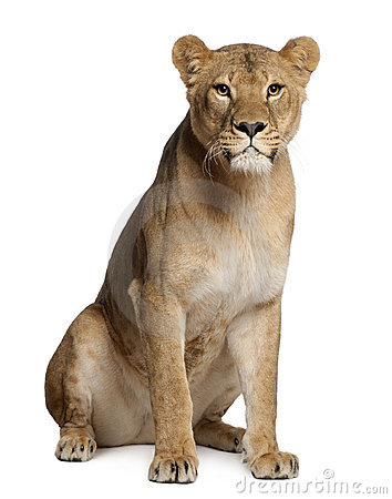 Free Lioness, Panthera Leo, 3 Years Old, Sitting Stock Photo - 22629270