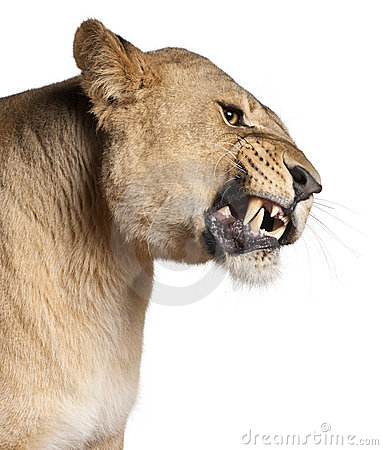 Lioness, Panthera leo, 3 years old, snarling
