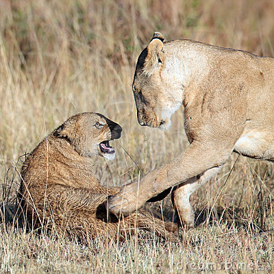 Lioness played with her cub