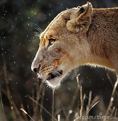 Free Lioness Portrait In The Rain Stock Images - 19991924