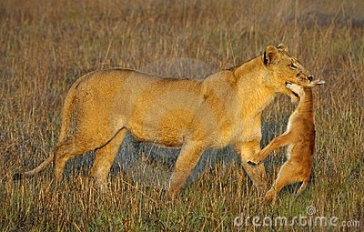 Lioness with prey.