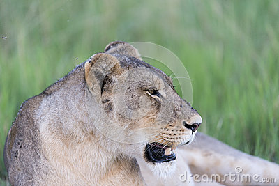 A Lioness resting
