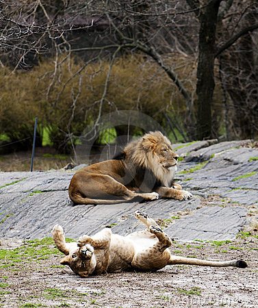 Lioness rolling for lion