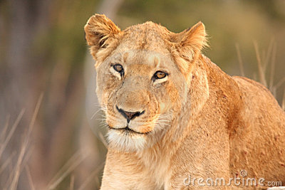 Lioness in Sabi Sands
