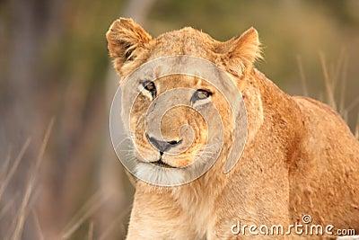 Lioness in Sabi Sands