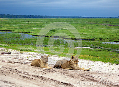 Lioness in savanna, Botswana