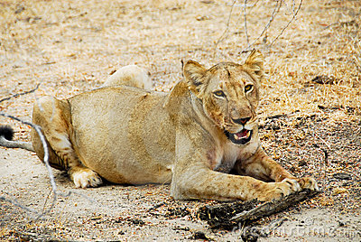 Lioness at Selous national park