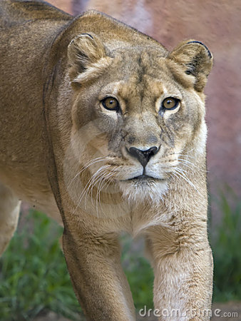 Free Lioness Stalking Royalty Free Stock Photos - 7249778
