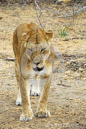 Lioness stalking in the Selous reserve