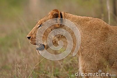 Lioness stare