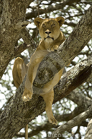 Lioness in the tree