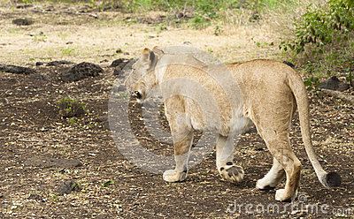 Lioness walking along road
