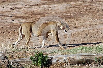 lioness-walking-dry-river-5381621.jpg