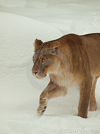 Lioness walking in snow