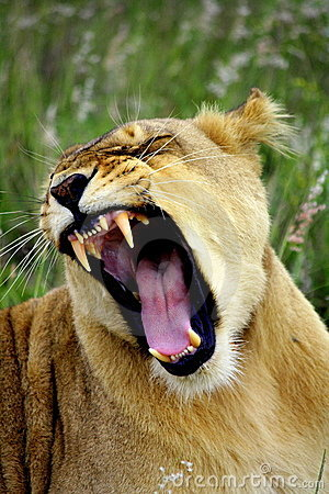 Free Lioness Yawn Royalty Free Stock Images - 23855299