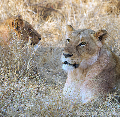 Lionesses lying in grass