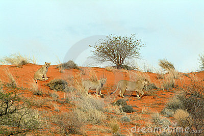 Lionesses (Panthera leo) in the Kalahari, Namibia