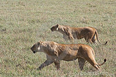 Lionesses sul Prowl in cratere di Ngorongoro