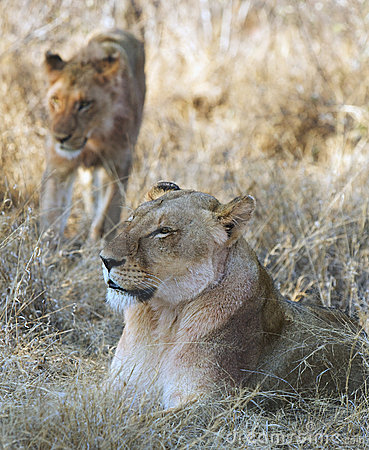 Lionesses in wilderness