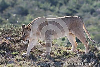 Lionesskringstrykande