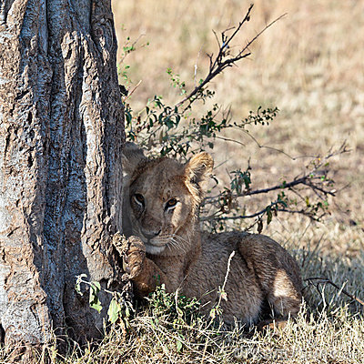 Lionet sits under a tree