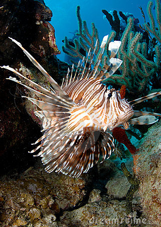 Free Lionfish Royalty Free Stock Images - 18607949