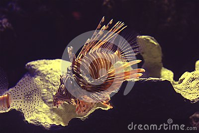 Lionfish Stock Photography - Image: 5884152