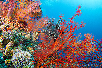 Lionfish in beautiful red fan coral