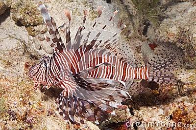 Lionfish - closeup