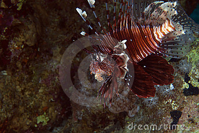 Lionfish in de Red Sea.