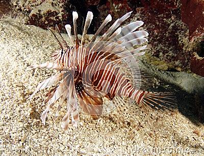 Lionfish or devil firefish,roatan,honduras