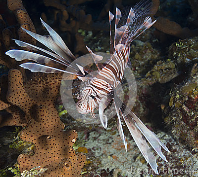 Lionfish royalty free stock images image 35053519 for Poisonous fish to eat