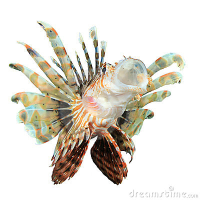Lionfish isolated on white background