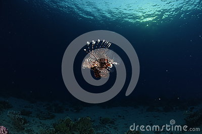 A lionfish in the Red Sea, Egypt
