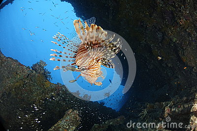 A lionfish in a shipwreck in the REd Sea, Egypt.