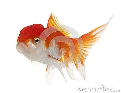 Lionhead goldfish, Carassius auratus
