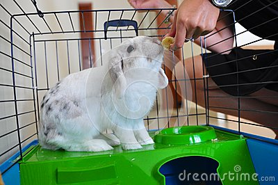 Lionhead rabbit eating in cage