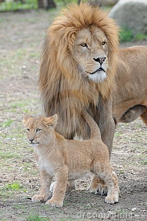 Free Lions Stock Photography - 14010262