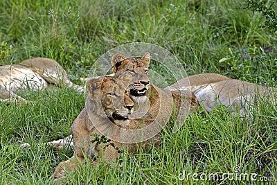 Lions on Alert