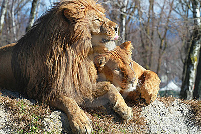 Lions cuople