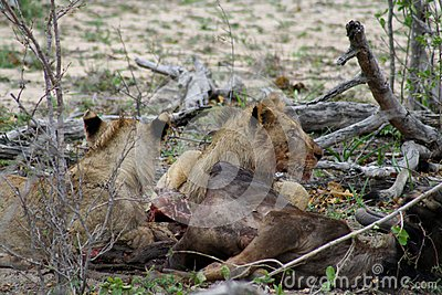 Lions eating their prey after an hunting night in the Savanna Stock Photo