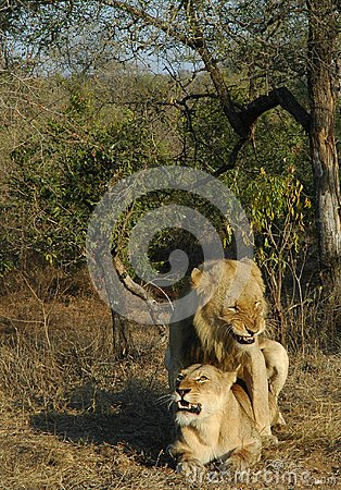 Lions+mating