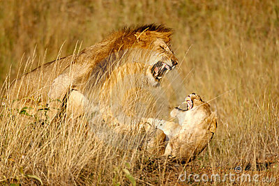 Lions mating n.2