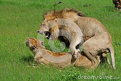 Lions mating, Okavango, Botswana