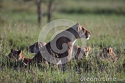 Lionґs Pride morning
