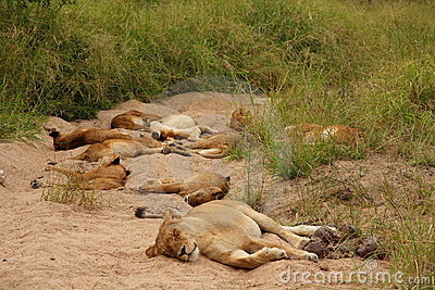 Lions in the Sabi Sand Game Reserve