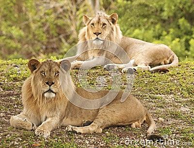 Lions - Selective Focus